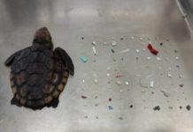 Photo of deceased turtle.