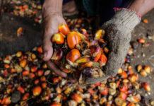 Photo of palm fruit