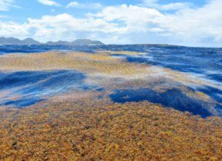 Photo of sargassum - brown seaweed
